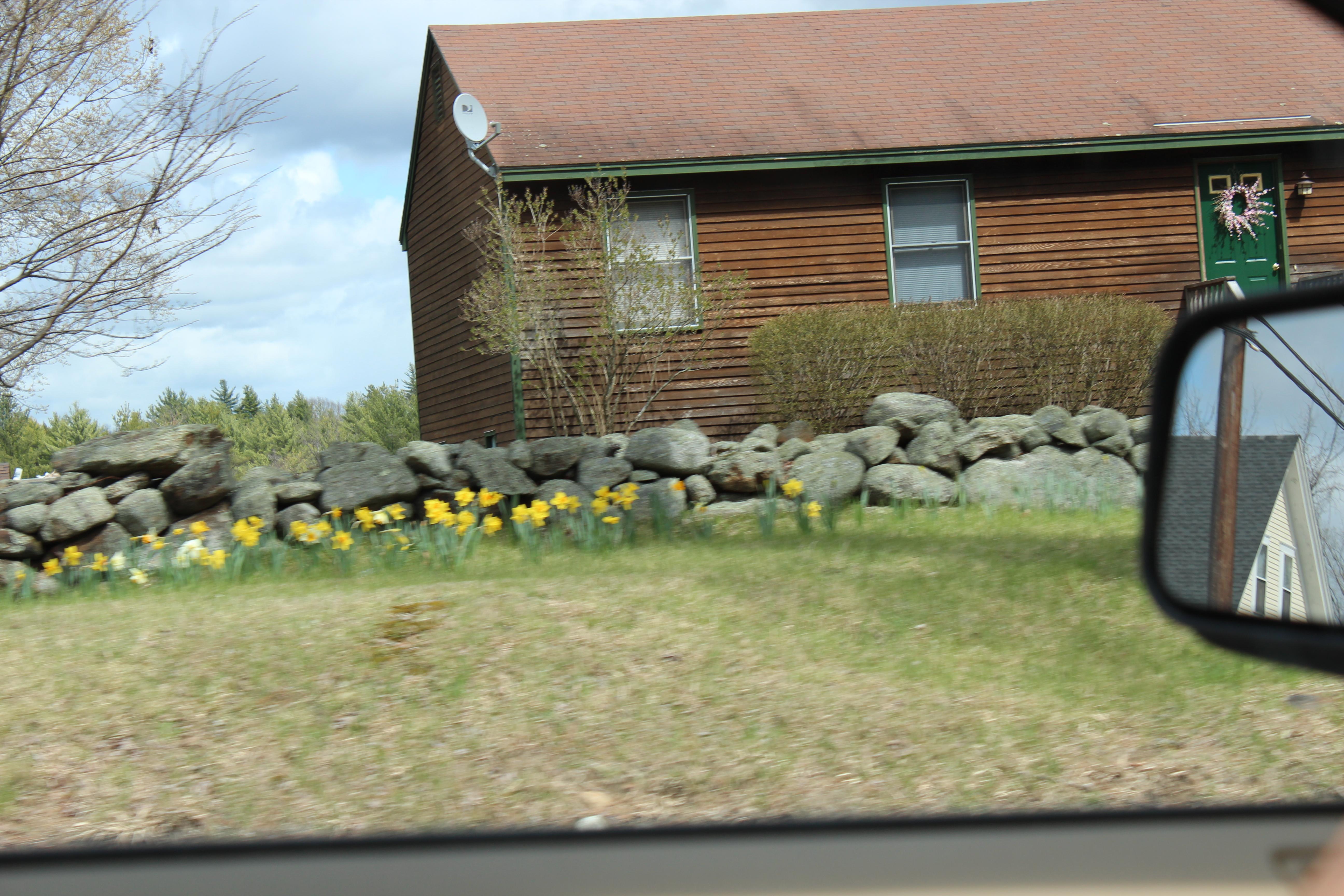 daffodills 2014 037.JPG