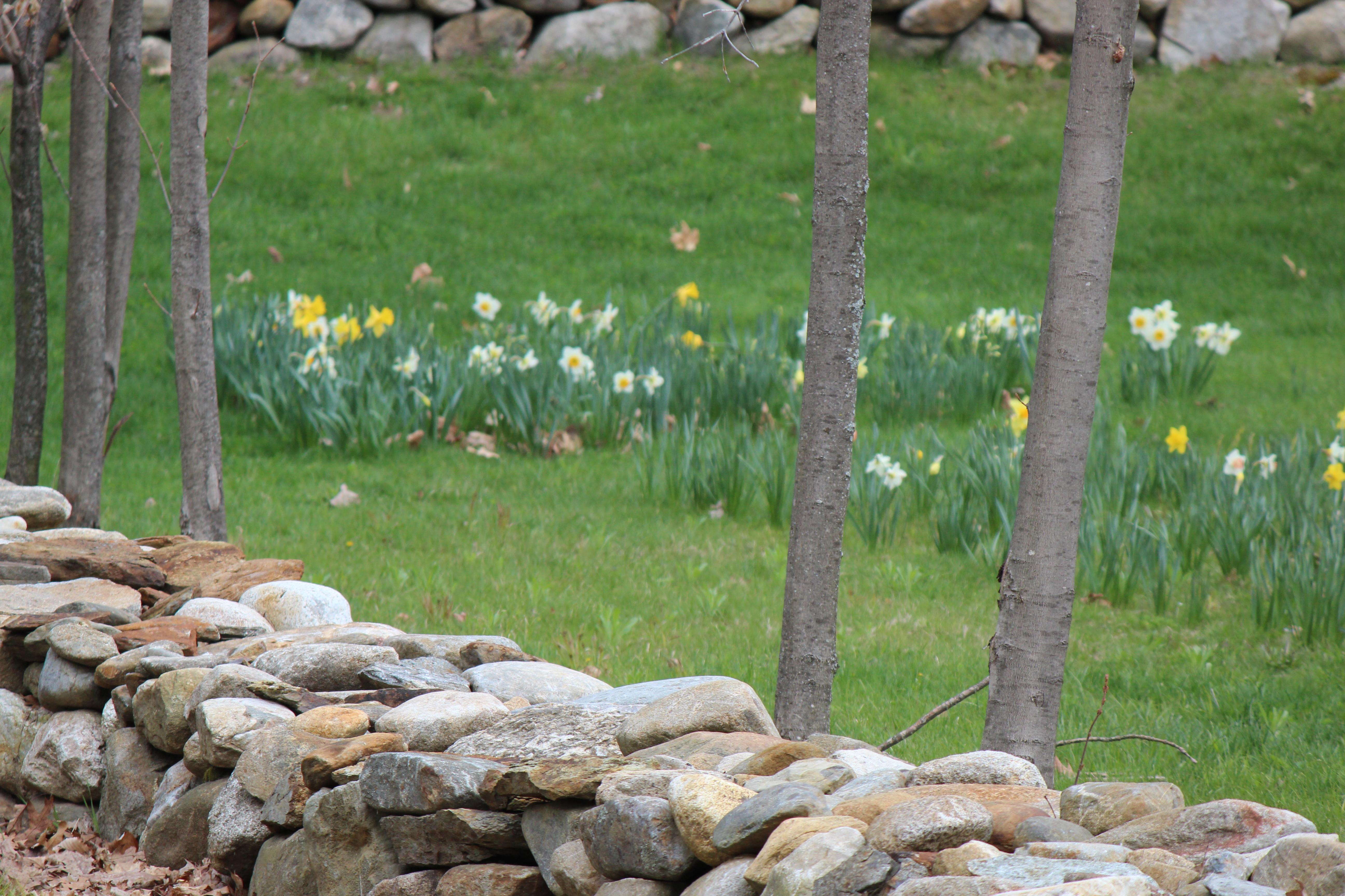 daffodills 2014 119.JPG