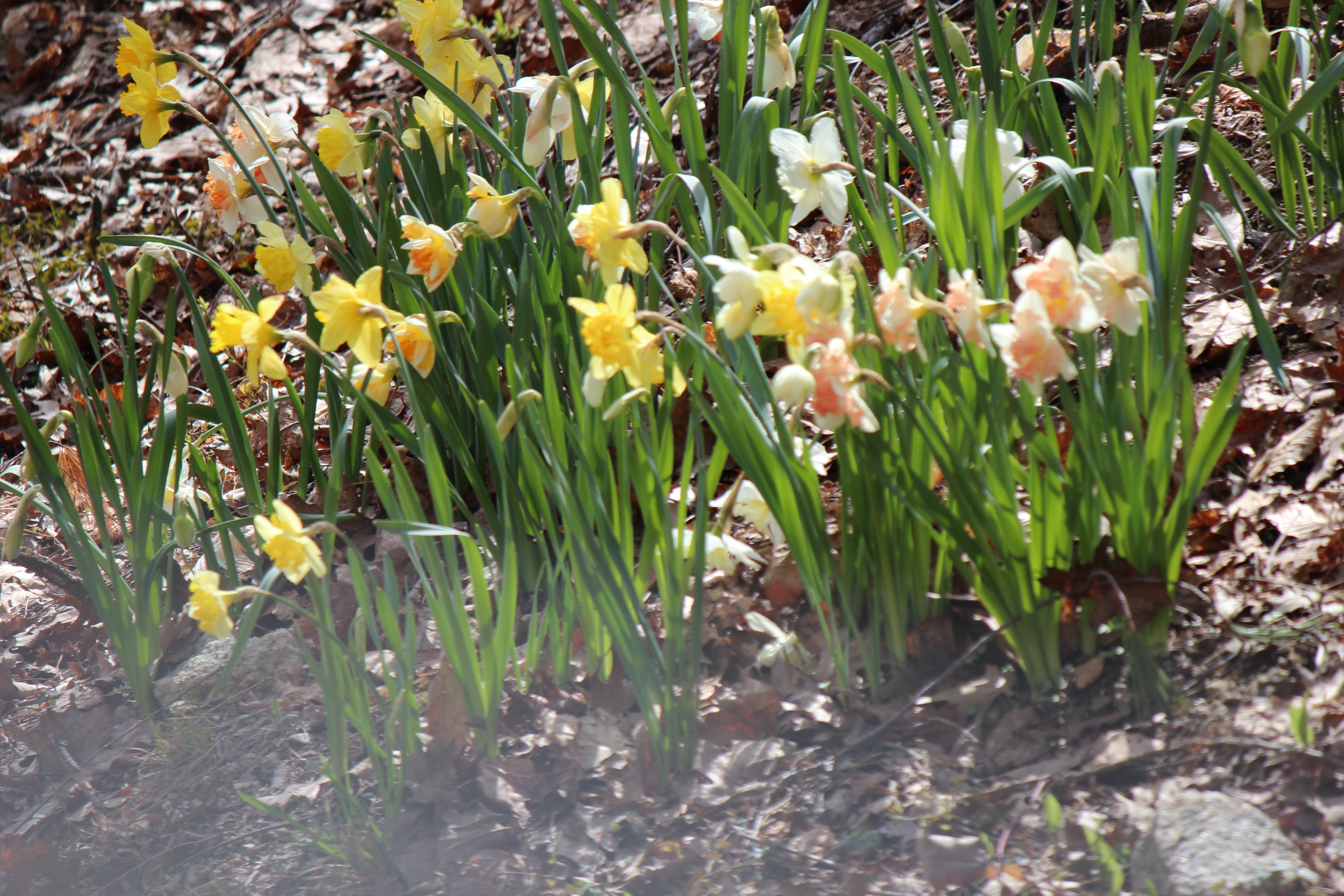 daffodills 2014 074.JPG
