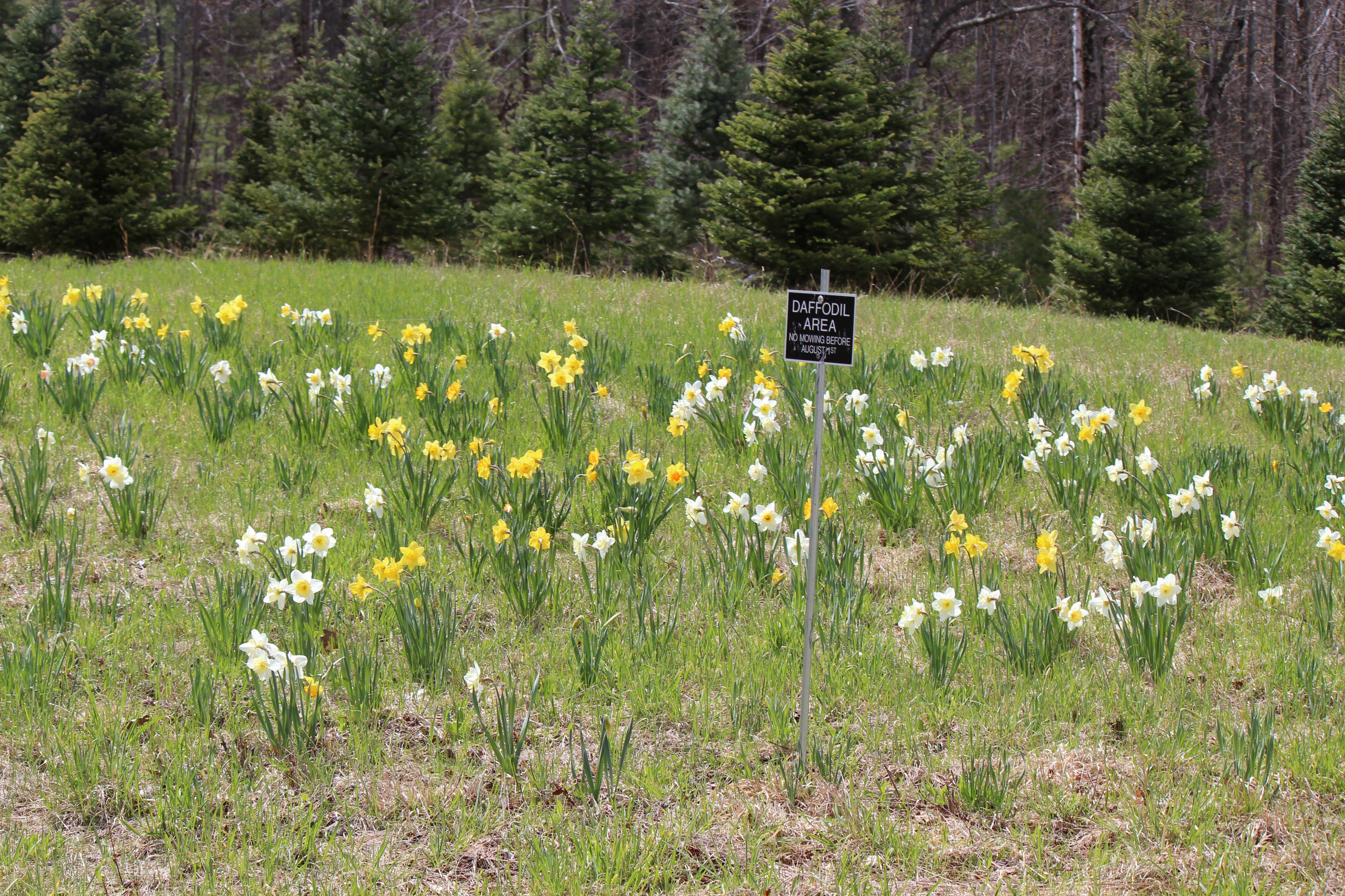 daffodills 2014 061.JPG