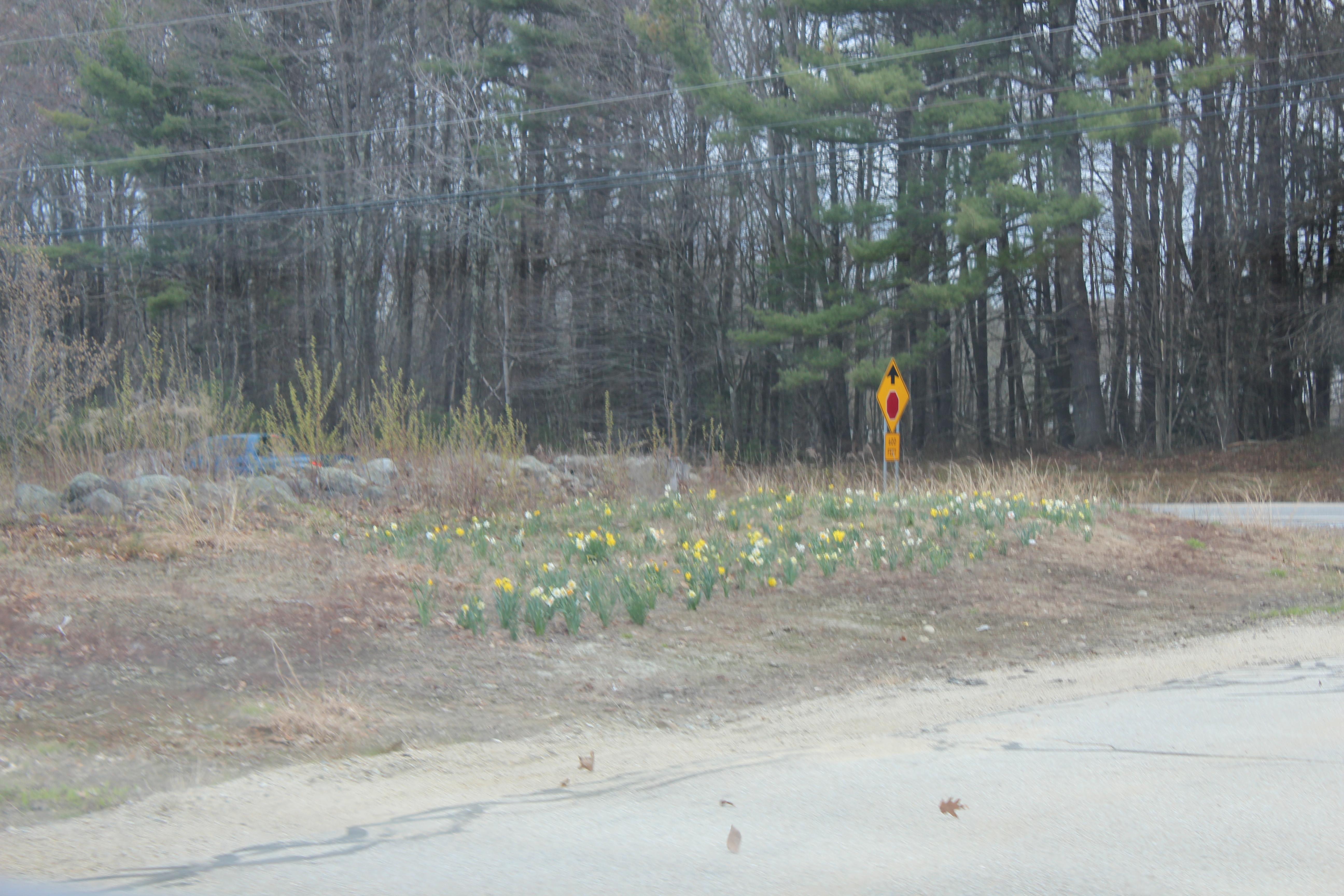 daffodills 2014 002.JPG