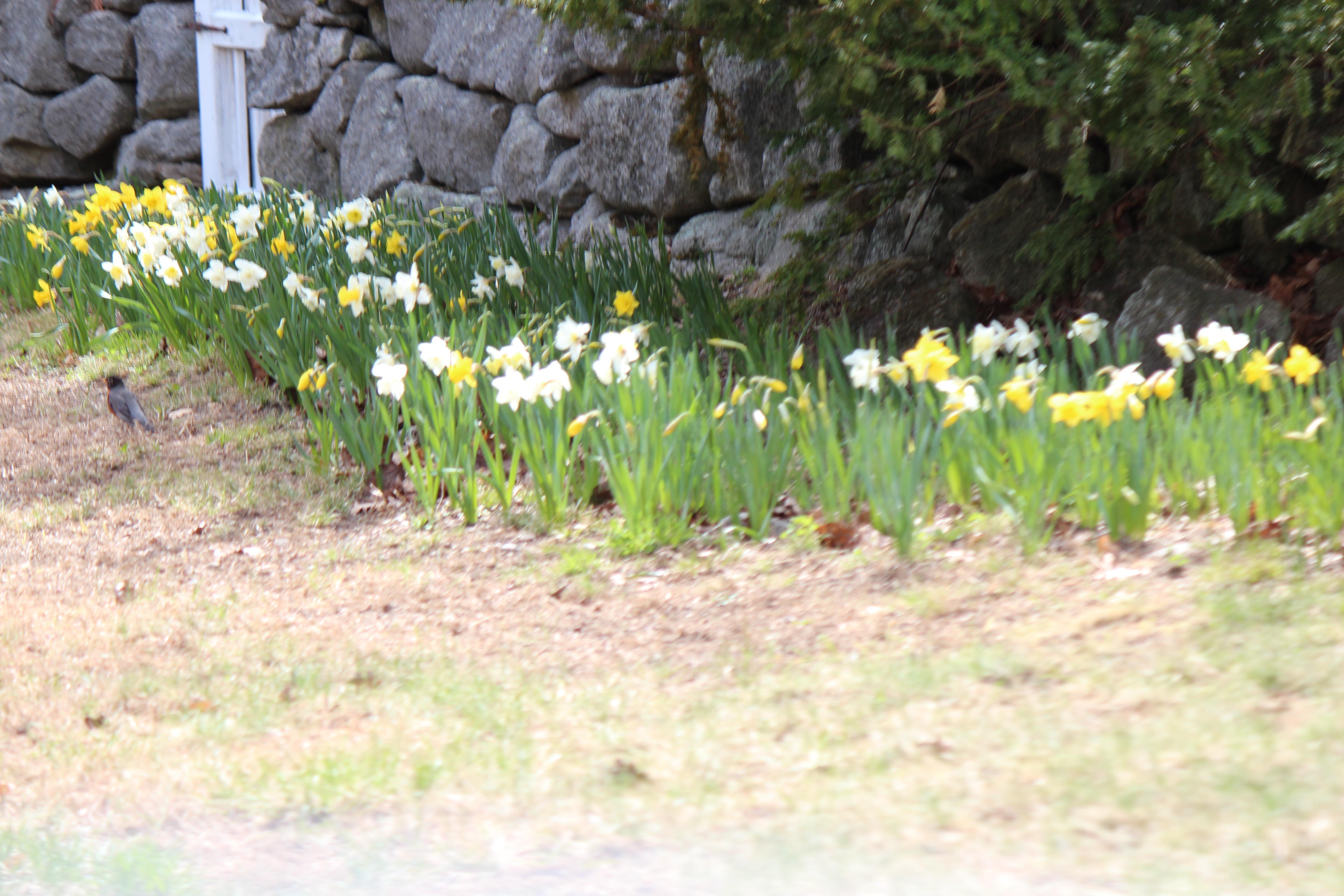 daffodills 2014 079.JPG
