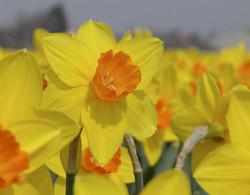 Commissioner wright daffodills.JPG