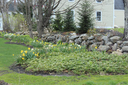daffodills 2014 020.JPG