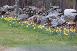 daffodills 2014 110.JPG