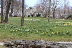daffodills 2014 147.JPG