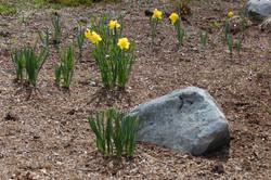 daffodills 2014 099.JPG