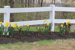daffodills 2014 193.JPG