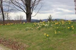 daffodills 2014 139.JPG