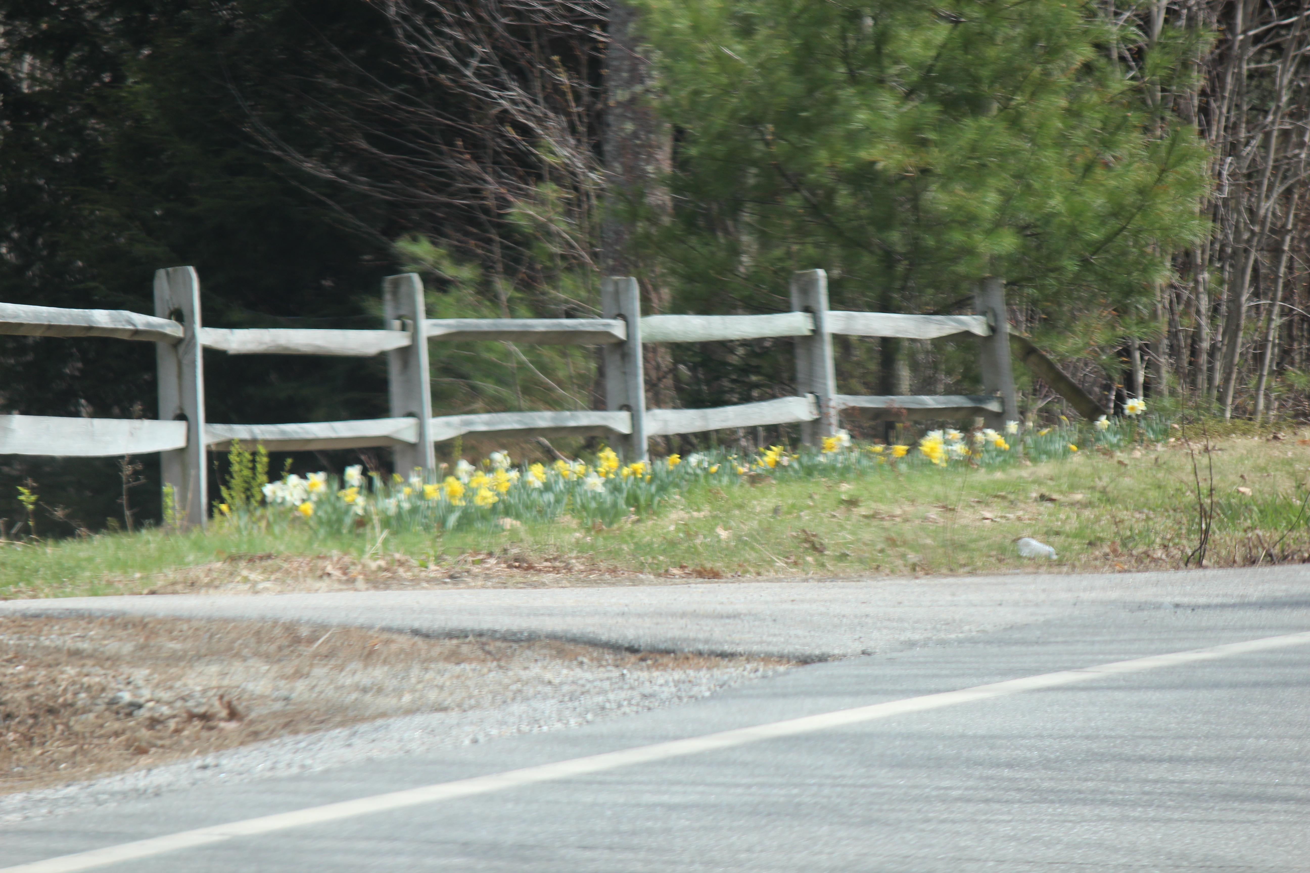 daffodills 2014 056.JPG