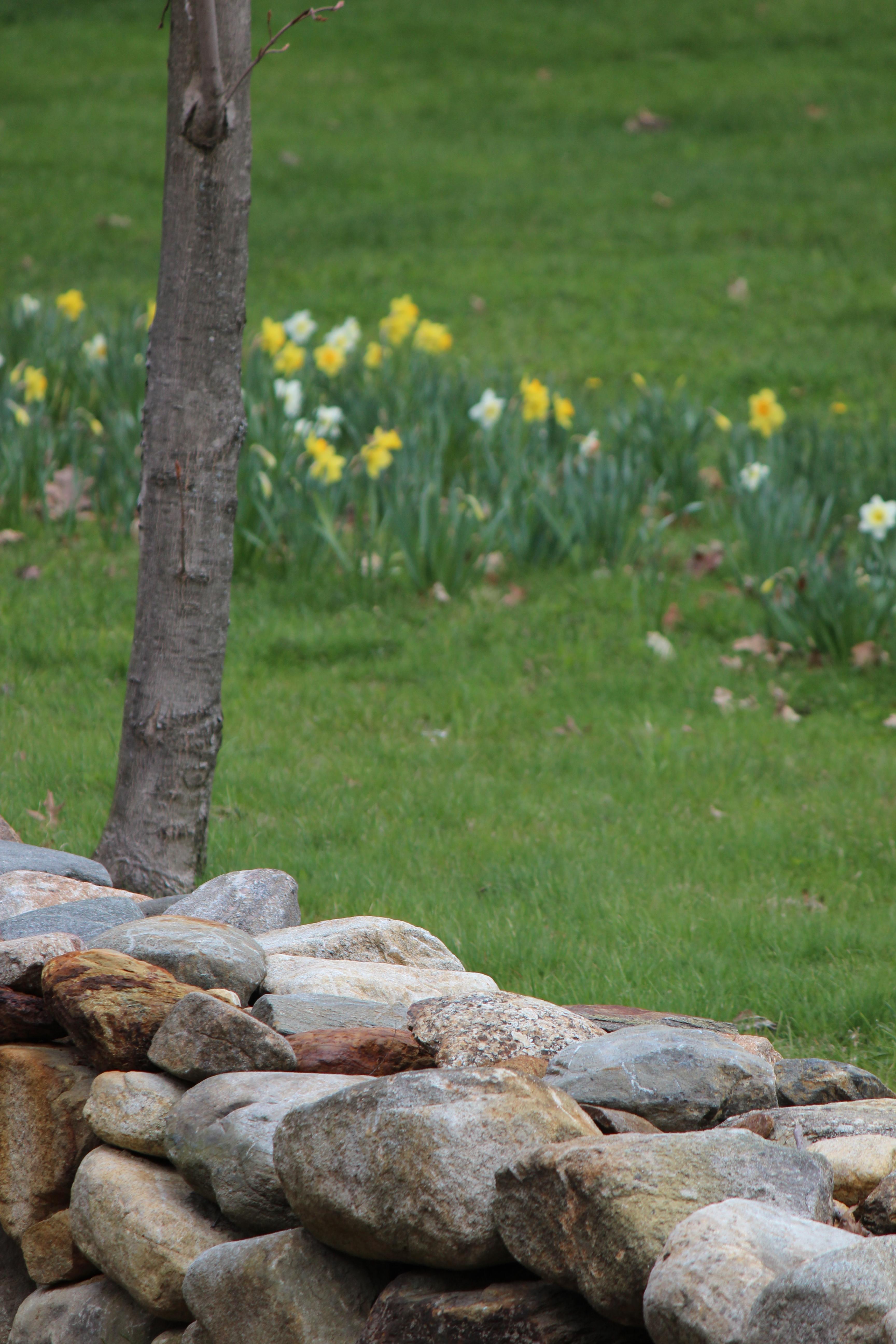 daffodills 2014 121.JPG
