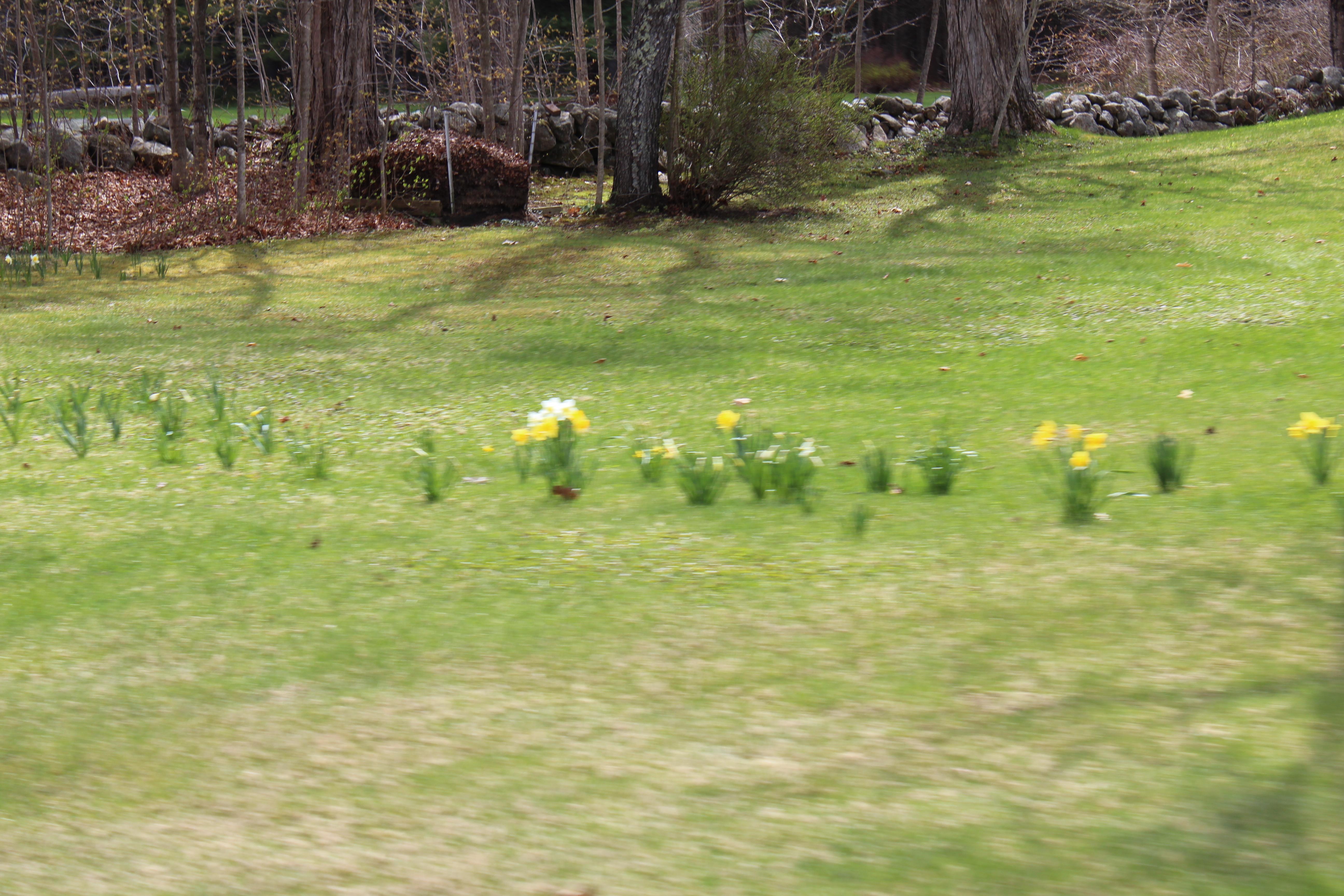 daffodills 2014 027.JPG