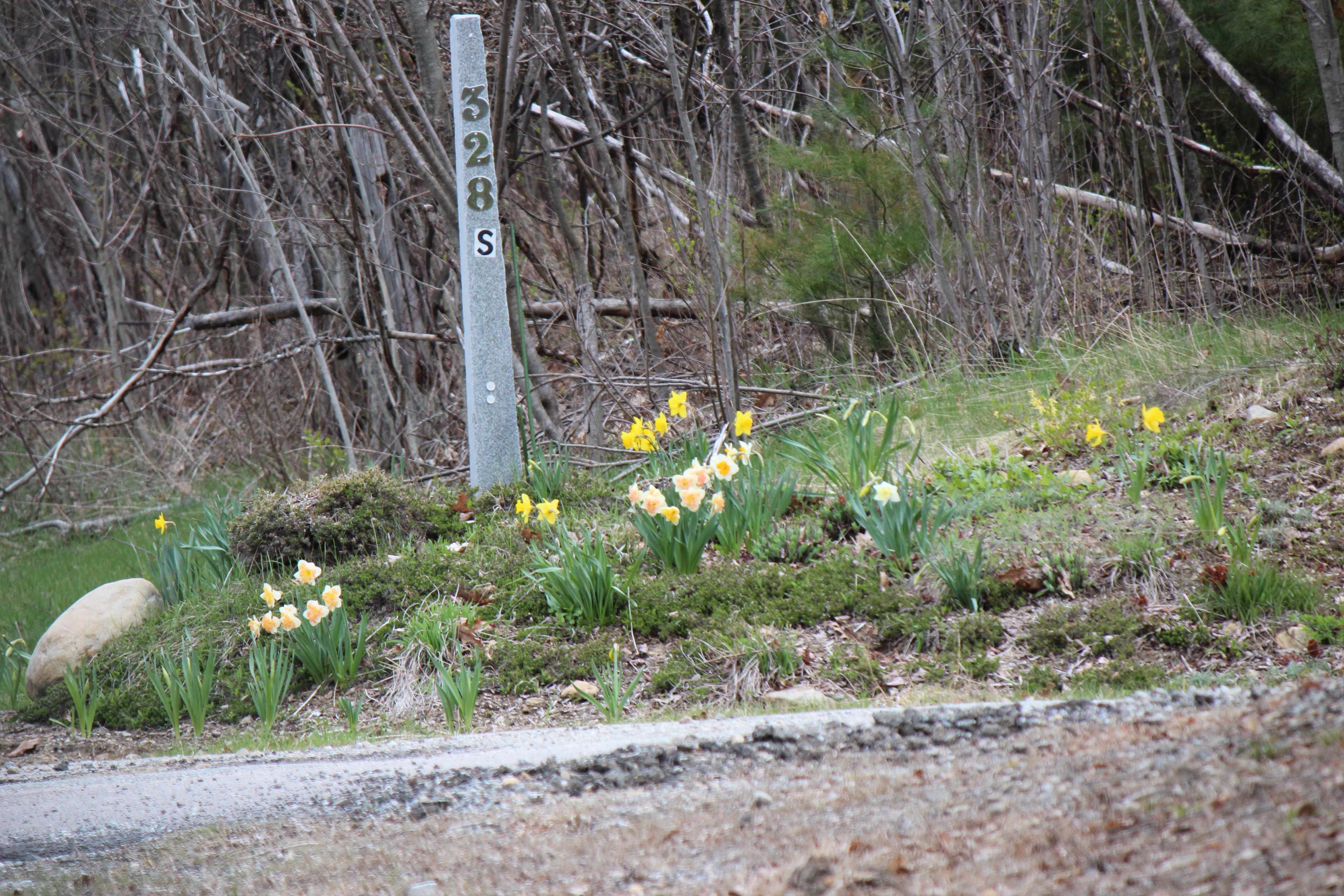 daffodills 2014 203.JPG