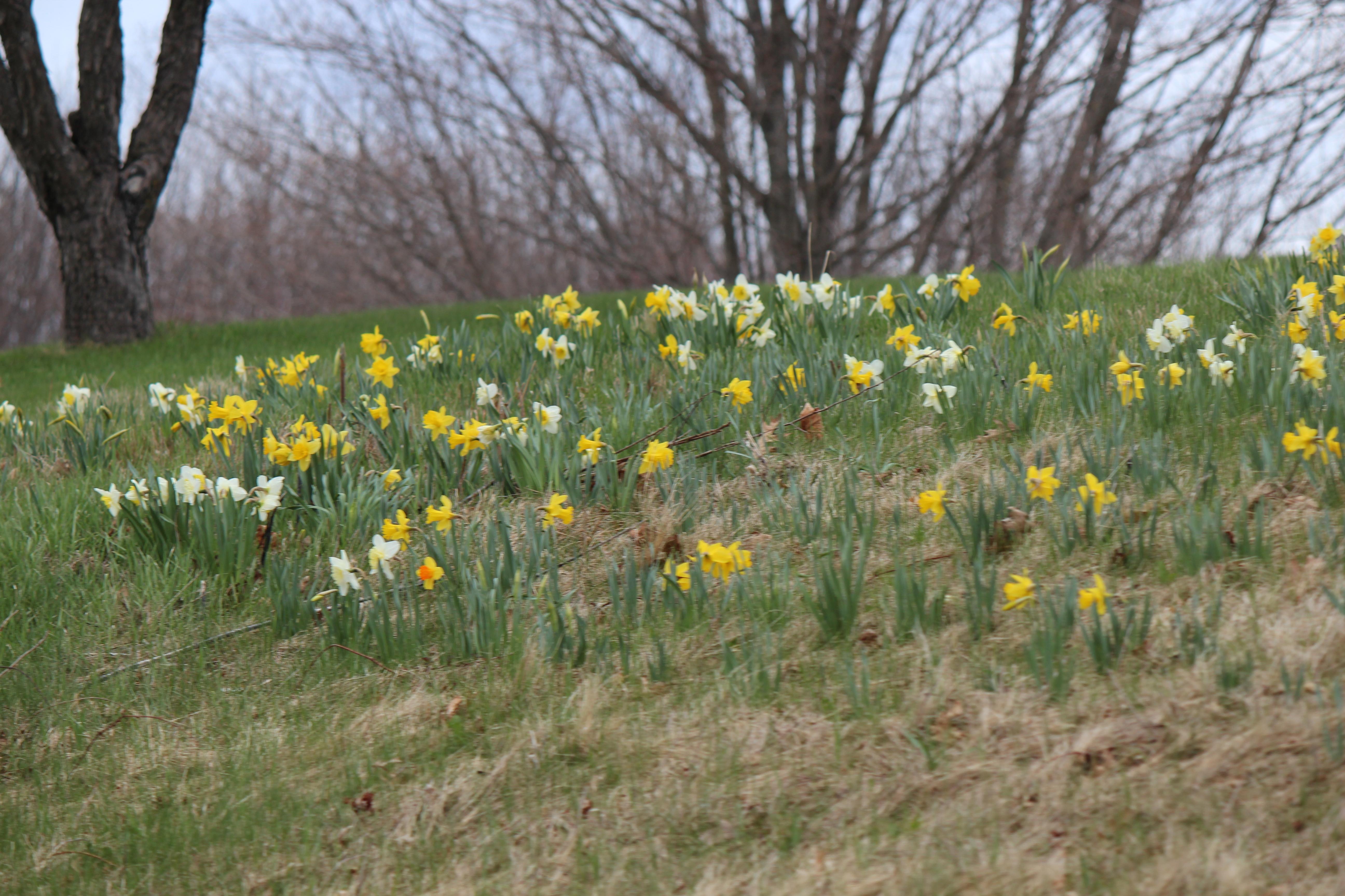 daffodills 2014 161.JPG