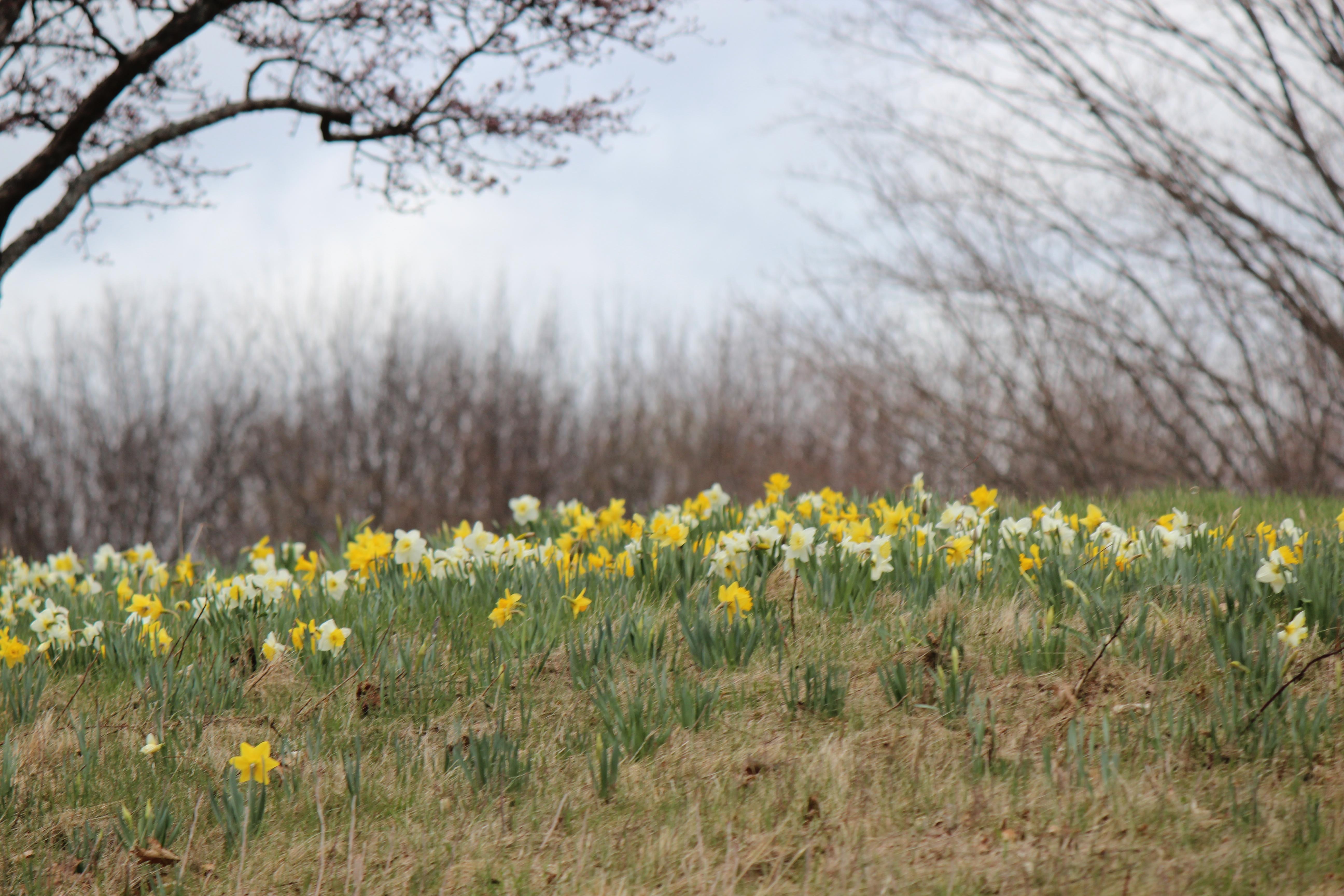 daffodills 2014 159.JPG