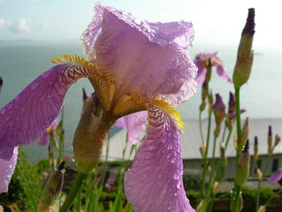 Beautiful Bearded Iris