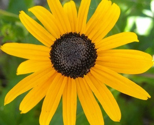 Five favorite summer blooming perennials otooles garden center black eyed susan is a perennial favorite in the perennial garden its tall upright stance and bright yellow flowers make a statement where ever its mightylinksfo Gallery