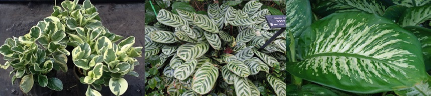 Peperomia, Calathea and Philodendron