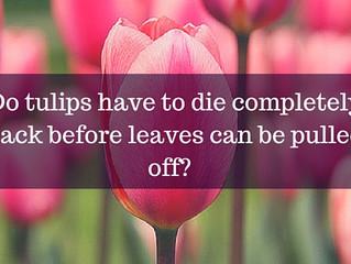 Ask a Gardener - Tulips