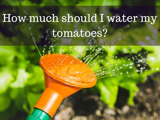 Ask a Gardener - Watering Tomatoes