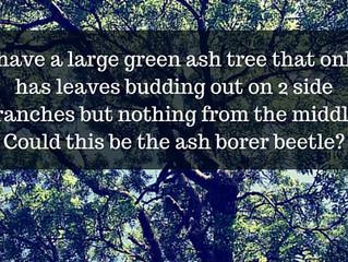 Ask a Gardener - Ash Tree