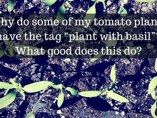 Ask a Gardener - Tomato and Basil