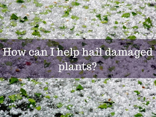 Ask a Gardener - Hail Damage