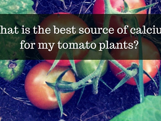 Ask a Gardener - Calcium for Tomatoes
