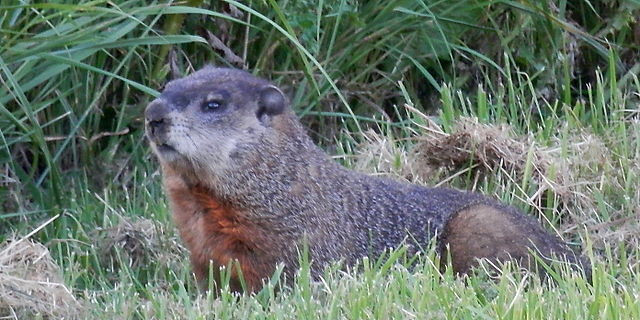 The majestic Marmota monax