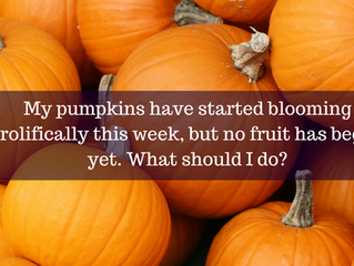 Ask A Gardener - Pumpkin Flowers