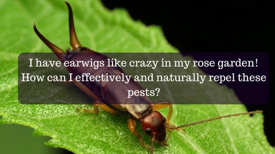 Ask A Gardener - Earwigs | O\'Toole\'s Garden Center - Gardening ...