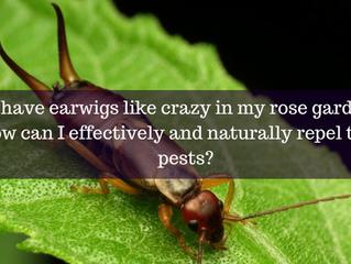 Ask A  Gardener - Earwigs