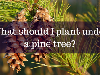 Ask A Gardener - Planting Under a Pine Tree
