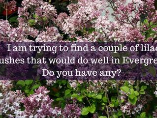 Ask A Gardener - Lilacs