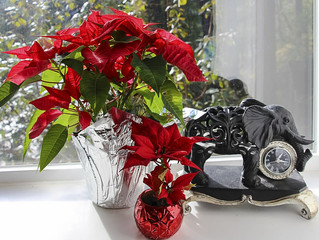 Poinsettias: Flowers of the Season