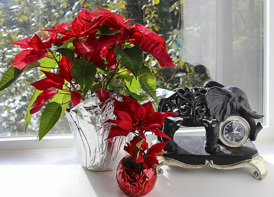 Keep poinsettias in indirect light for at least 6 hours a day.