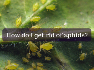 Ask A Gardener - Aphids