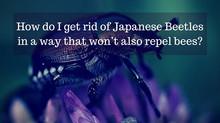 Ask a Gardener - Japanese Beetle
