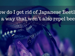 Ask a Gardener - Japanese Beetle