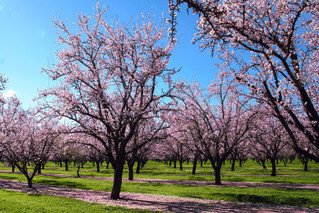 Croptimal Commercializes its Precision Agriculture Solution for Almond Crops