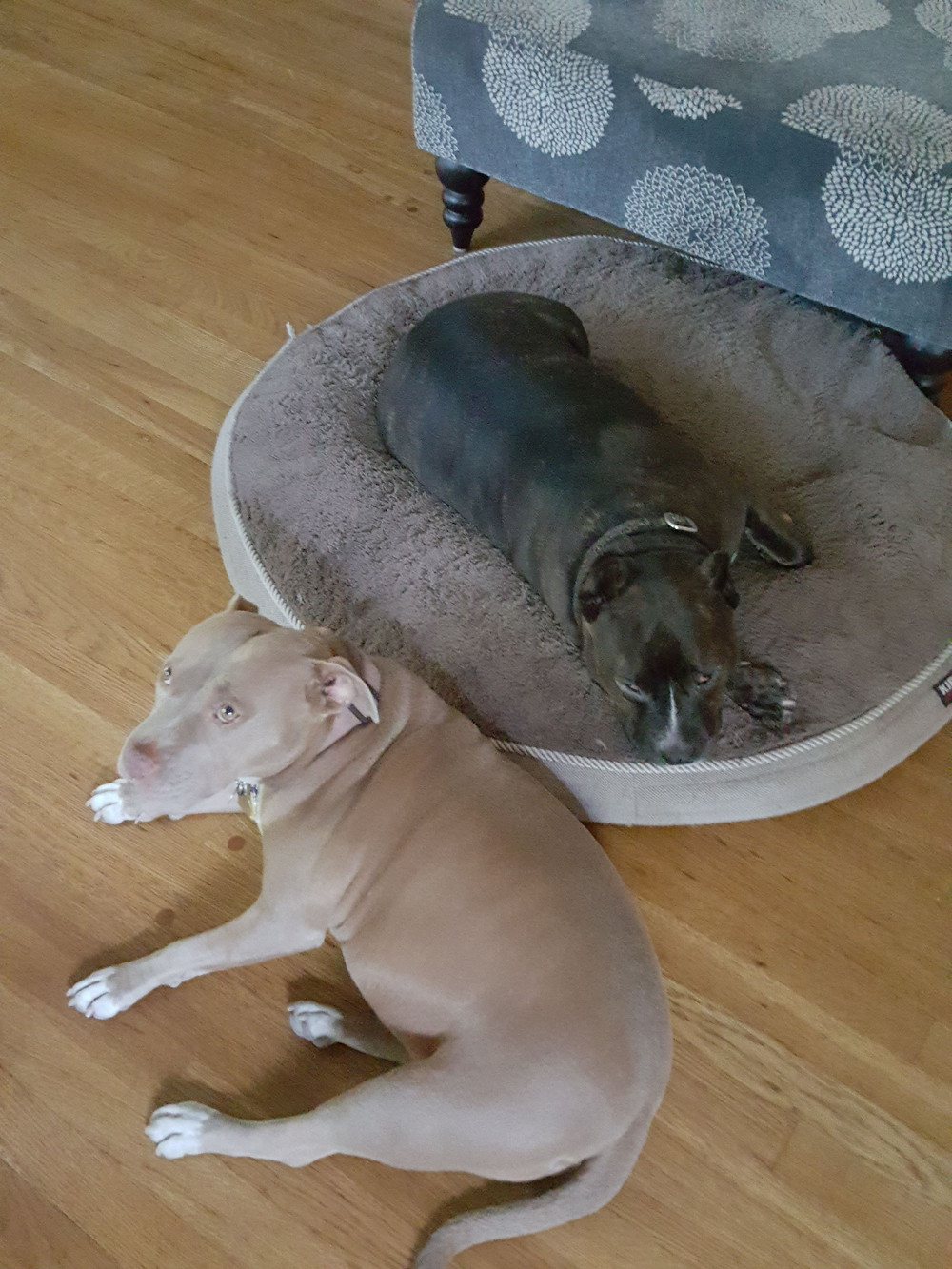 Two of the most adorable pocket pit-bulls you ever want to meet