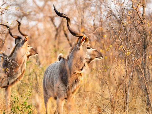 Kudu at Londolozi