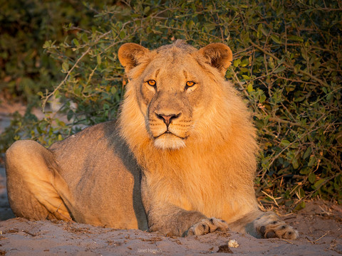 Lion in the morning light