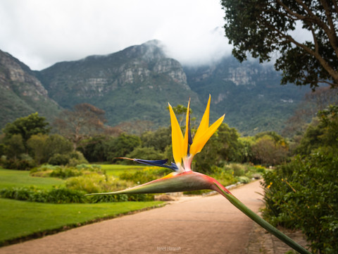 Bird of paradise in Kirstenbosch Botanical Gardens