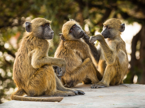 Three monkeys in Chobe National Park