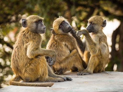 Three monkeys in Chobe National Park