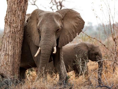Elephant at Londolozi