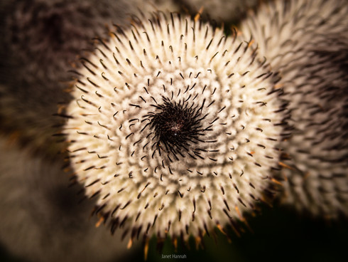 Pincushion plant