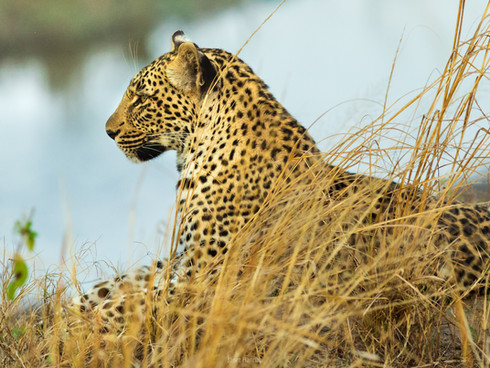 Leopard by the river