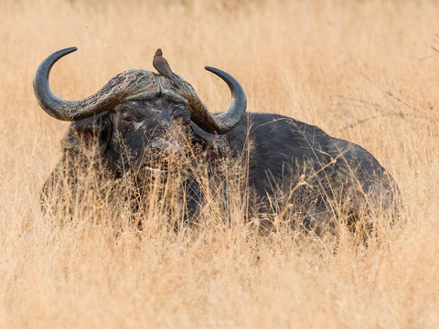 Water buffalo in the grass